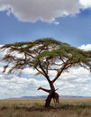 Giraffe under a tree Stock Image
