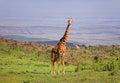 Giraffe in the vast Ngorongoro Reserve Royalty Free Stock Photo