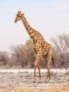 Giraffe walk in Etosha National Park, Namibia, Africa. Royalty Free Stock Photo