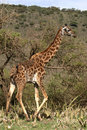 Giraffe walk in trees of acacias. Stock Photography