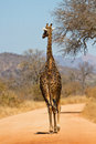 Giraffe walking along a road Royalty Free Stock Photography