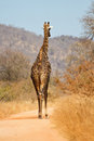Giraffe walking along a road Royalty Free Stock Images
