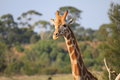 Giraffe walking around in wild life Royalty Free Stock Images