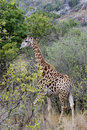 Giraffe walking away Royalty Free Stock Photo