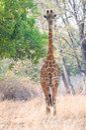 Giraffe walking in the bush Stock Image