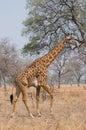 Giraffe walking in the bush Royalty Free Stock Photo
