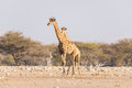 Giraffe walking in the bush on the desert pan. Wildlife Safari in the Etosha National Park, the main travel destination in Namibia Royalty Free Stock Photo