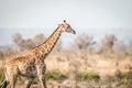 Giraffe walking in the bush. Royalty Free Stock Photo