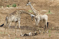 Giraffe walking in the riverbank, near a corpse of cow, in Kruger National park