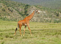 Giraffe walking on the savannah Royalty Free Stock Photo