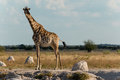 Giraffe at a water hole Royalty Free Stock Photo