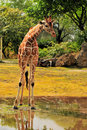 Giraffe In the Water After the Rain Stock Photography