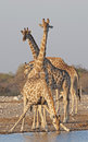 Giraffe at a waterhole in etosha national park namibia africa Royalty Free Stock Images