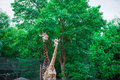 Giraffe in the wild green tree background Royalty Free Stock Photos