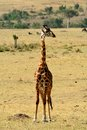 Giraffe in the wild in tanzania Royalty Free Stock Image