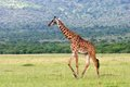 Giraffe in the wild in tanzania Stock Images