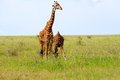 Giraffe in the wild in tanzania Stock Photography