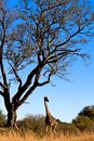 Giraffe in the wild in tanzania Royalty Free Stock Photography