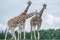 Giraffe in a wildlife reserve details of life Royalty Free Stock Photography