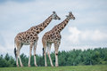 Giraffe in a wildlife reserve details of life Stock Photo