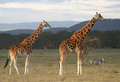 Giraffe and zebra near lake nakuru Royalty Free Stock Photos
