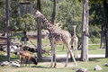 Giraffe in the zoo Royalty Free Stock Photography