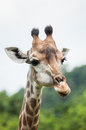 Giraffe in zoo Stock Image