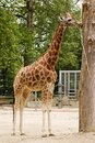 Giraffe in the zoo big wild animal Stock Photo
