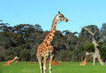 Giraffe in a zoo chewing branch Stock Photos