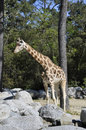 Giraffe in a Zoo Enclosure with rocks Royalty Free Stock Photography