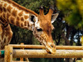Giraffe in zoo looking at something Royalty Free Stock Images