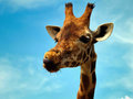 Giraffe in zoo looking at something Royalty Free Stock Image