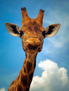Giraffe in zoo looking at something Stock Photos