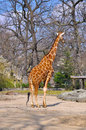 Giraffe in zoo side portrait of stood with boulders and trees background Stock Photography