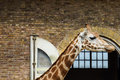 Giraffe in zoo standing side view Royalty Free Stock Images