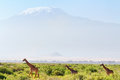 Giraffes in Amboseli Royalty Free Stock Photo