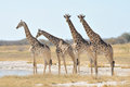 Giraffes at the aroe waterhole in the etosha national park namibia Royalty Free Stock Image