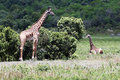 Giraffes in arusha two the park tanzania Stock Photo
