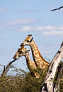Giraffes in the bush Royalty Free Stock Photography