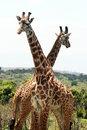Giraffes composition two funny in arusha park in tanzania Royalty Free Stock Photos