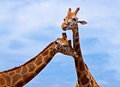 Giraffes couple of in love in the wild nature Stock Image