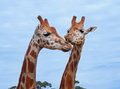 Giraffes couple of in love in the wild nature Royalty Free Stock Images