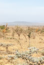 Giraffes in dry savanna Royalty Free Stock Photo