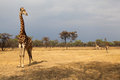 Giraffes in the early morning of africa savanna with a thunderstorm brewing in the background giraffe the tallest living animal it Stock Image