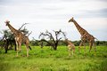 Giraffes family, Etosha Park, Namibia Royalty Free Stock Photo