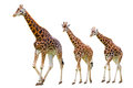 Giraffes family isolated on white Royalty Free Stock Photography