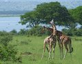 Giraffes at fight in africa sunny scenery of two male rothschild while fighting uganda Royalty Free Stock Photography