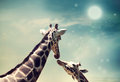 Giraffes in friendship or love concept image two mother and child theme at twilight Stock Images