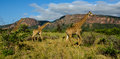 Giraffes in a game reserve Royalty Free Stock Photo