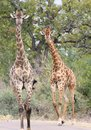 Giraffes (Giraffa camelopardalis) Royalty Free Stock Photography